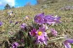 Na jedny z nejvýraznějších květů Podyjí – koniklece velkokvěté - se zájemci mohou podívat například nedaleko Havraníků.