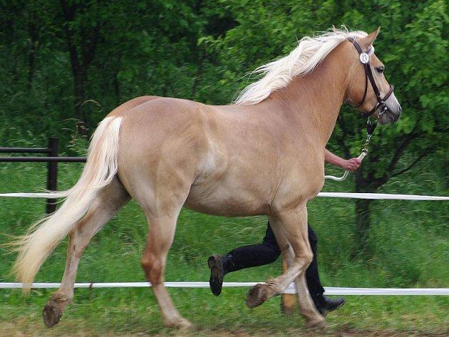 Tři desítky koní plemene hafling předvedli chovatelé na výstavě v Kuchařovicích.