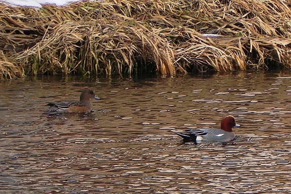 Dva nové druhy kachen i chřástala vodního a další druhy ptáků v rekordním počtu zaznamenali ornitologové v Národním parku Podyjí. Na snímku hvízdák eurasijský.