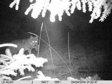 V půldruhé v noci čtvrtého dubna zachytila fotopast na Břehyni znovu vlka i s kořistí v tlamě.