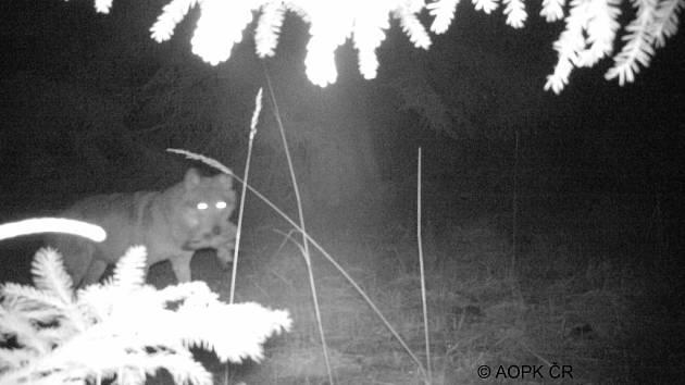 Loni v dubnu zachytila fotopast na Břehyni znovu vlka i s kořistí v tlamě.