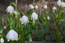 Kvetoucí bledule čekají na návštěvníky v Národní přírodní památce Peklo u České Lípy. Každý rok se na něžné kvítky, které zvěstují příchod jara, chodí do pekelského údolí podívat tisíce turistů.