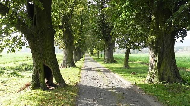 VALDŠTEJNSKÁ ALEJ. Jsou tu zhruba dvě stovky lip, nejstarší stromy přitom mají stáří kolem 300 let.