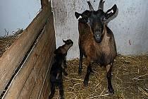 Koza Maruša se svými potomky.
