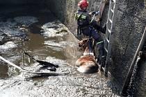 Šest jednotek hasičů se v sobotu ráno sjelo do části Pavlín v Ralsku, kde spadl jezdcem s koněm do jímky. Zvíře hasiči vyprostili pomoci speciální sítě.