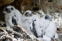 V CHKO Kokořínsko – Máchův kraj bylo okroužkováno pět sokolích mláďat na dvou hnízdech.