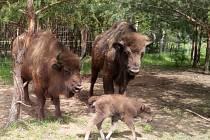 V Milovicích se divokých koním daří, což dokazují čerstvé přírůstky do stáda.