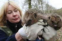 Na podzim přijímají záchranné stanice ježky, kteří nemají dostatečnou hmotnost pro bezpečné přezimování.