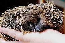 Malé ježky nezřídka nacházíme v blízkosti lidských obydlí. Když mají dostatek tukových zásob, zimu přežijí.