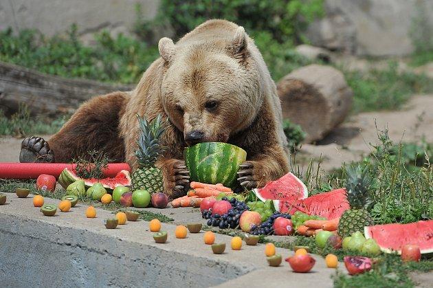 Medvěd Medoušek ze zámku v Zákupech dostal dort ke svým 25. narozeninám.