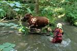 Kráva uvízla v řece u Zákup. Ven zvířeti pomohli hasiči