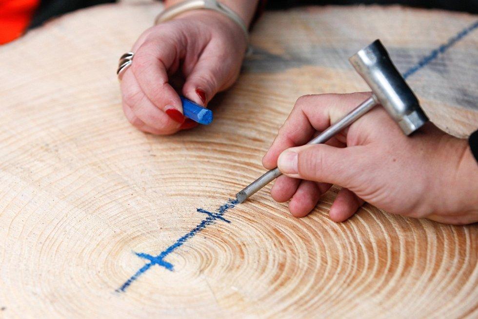 Spočítání letokruhů, které napovídají o stáří stromu, se ujala starostka Lípy Romana Žatecká a jednatel společnosti Fehrer Pavel Mooz.