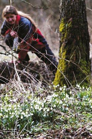 Vúdolí Robečského potoka rozkvetly tisíce bledulí.
