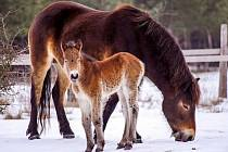 V Milovicích se divokým koním daří. V únoru se tam narodila první letošní hříbata.