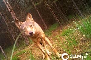 Cenné snímky vlka z fotopasti u Doks.