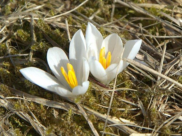 Jako každoročně touhle dobou rozkvetly na Farské louce na Slunečné vzácné šafrány bělokvěté.