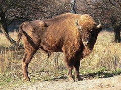 Zubr (bizon) je největším volně žijícím přežvýkavcem v Evropě.