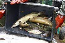 Výlov Máchova jezera fakticky probíhal v potoce, který rybáři přehradili kovovou zábranou. V lagunách ve vypuštěném jezeře zůstávají raci říční.