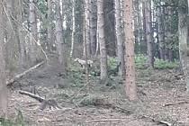 Setkání s vlkem.