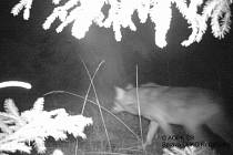 Nastražené fotopasti v oblasti Břehyně se podařilo vlka vyfotit také v noci, tentokrát to bylo 19. března ve 23.25 hodin.