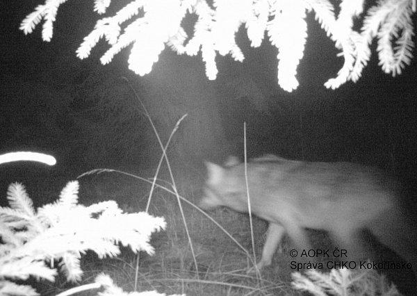 Nastražené fotopasti voblasti Břehyně se podařilo vlka vyfotit také vnoci, tentokrát to bylo 19.března ve 23.25hodin.