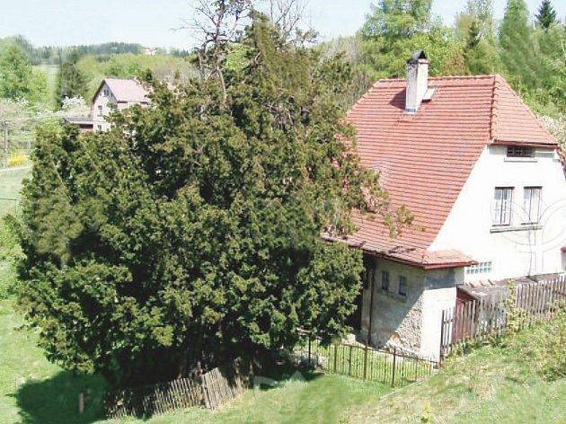 Zhruba 434 let je starý unikátní tis červený z Krompachu. Obvod kmenu má kolem 470 centimetrů, výška je sedm metrů.
