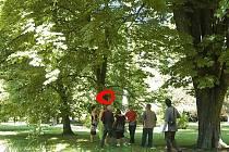 Fosforeskující oranžovou barvou označilo město v Městském parku všechny stromy, které jsou ke kácení navržené v rámci projektu, na který získala českolipská radnice dotaci.