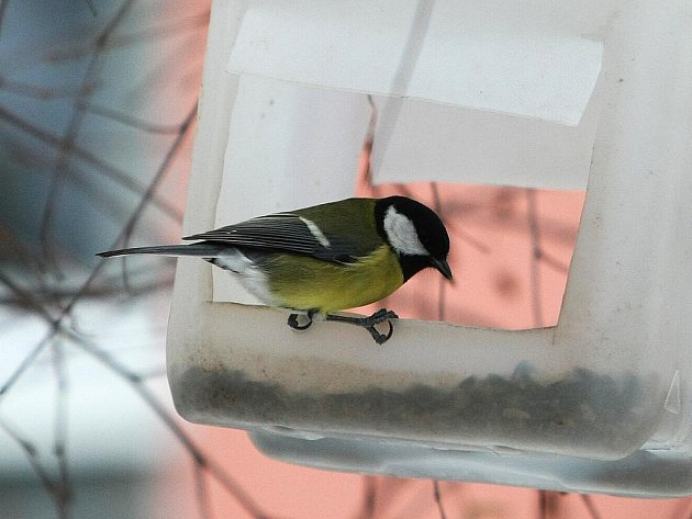 Ptáci, kteří v naší přírodě přežívají, jsou schopni přijímat alternativní potravu, jako například semena slunečnice, proso, různé namíchané směsi. Nepohrdnou ani suchou vánočkou.