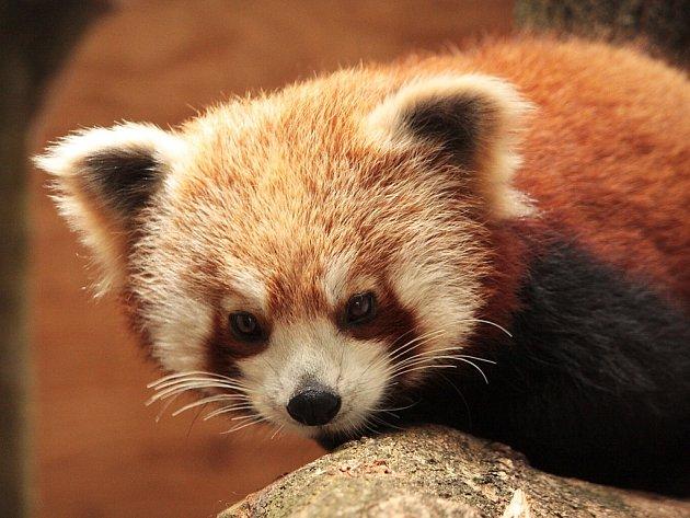 Lotus, nová obyvatelka liberecké zoo. Jde o téměř roční pandu červenou. Brzy jí z britských ostrovů dorazí i partner.