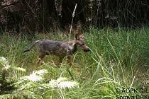 Smečka vlků se na Českolipsku pohybuje od roku 2014.