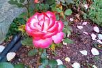 Růžová zahrada kamarádky Toničky z Provodína.