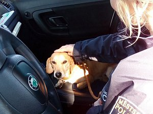 Každý nalezený, opuštěný či toulavý pes, který je nahlášený Městské policii Česká Lípa, je nejprve na 72 hodin umístěný do záchytných kotců, odkud si ho může vyzvednout majitel.