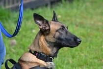 Dvouletá fena belgického ovčáka Cama je prvním českým psem, který bude čichat při akcích v Kongu.
