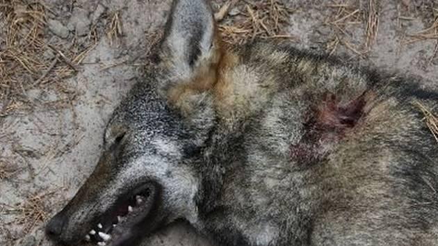 Výsledky pitvy: vlčice u Hradčan zahynula po střetu s jinou šelmou, asi vlkem.
