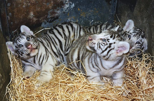 Trojčata tygrů mají za sebou první veterinární prohlídku. Zjišťovala se váha ipohlaví.