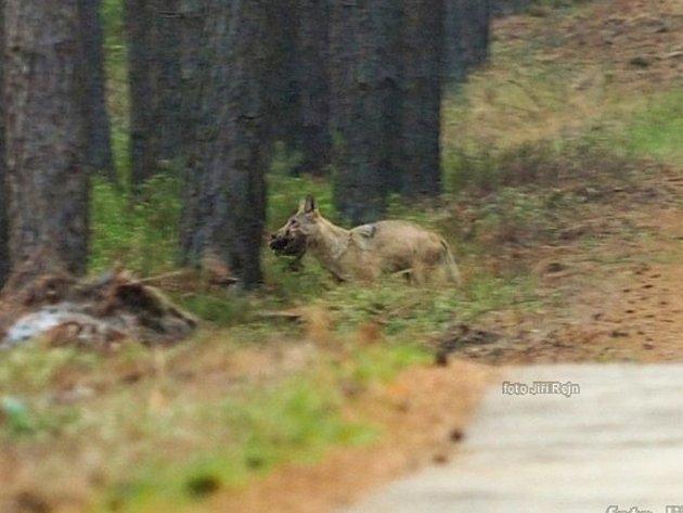 To, že prasata divoká jsou běžnou součástí vlčího jídelníčku, dokládá zářijová fotografie vlka nesoucího sele přímo zoblasti Kokořínska.