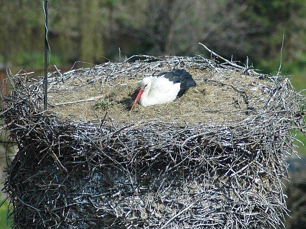 Čapí hnízdo v Jablonném v Podještědí ani letos nezůstalo prázdné. Čápi sem létají již sto čtyřicet šest let.