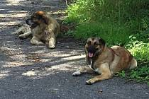 Agresivní psi museli být uspání veterinářem.