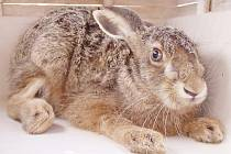 Chronicky nemocného zajíce lidé poznají podle toho, že ztrácí přirozenou ostražitost, pohyblivost a plachost.