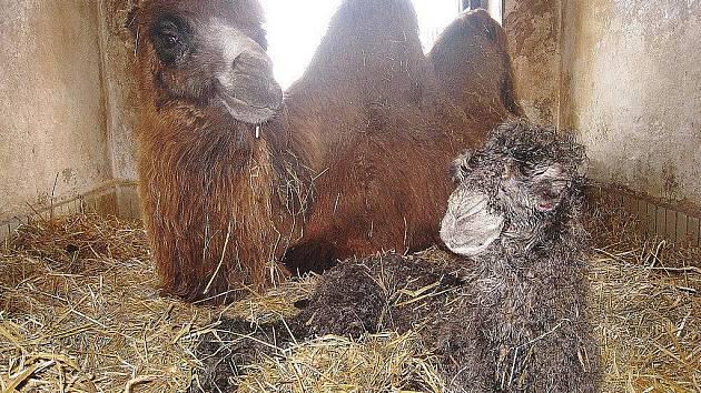 Liberecká zoo chová velbloudy od roku 1957.