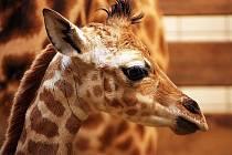 Souboj o letošní první mládě v ZOO Liberec vyhrála samička žirafy Rothschildovy, která se narodila v sobotu 7. ledna.