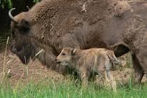 Noví zubři dovezení do obory v Ralsku překvapili myslivce. Původně stádo čtyř krav a jednoho býka se po příjezdu rozrostlo o dalšího člena.