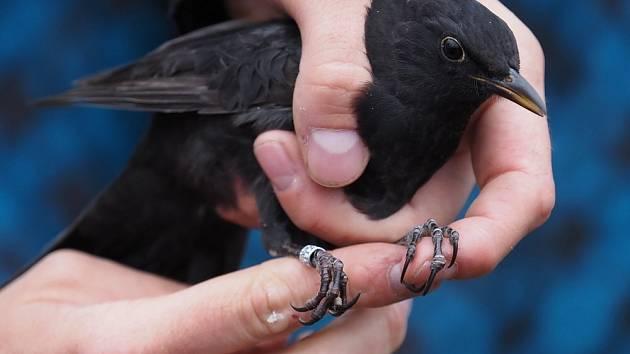 V Ostrově u Macochy byl okroužkován tento mladý kos černý.