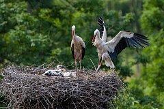 Ornitologové kroužkovali 17. června tři čapí mláďata, která se narodila páru na bývalém továním komíně v Jezvé na Českolipsku.