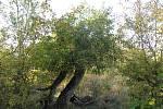 Staré jabloně v Geoparku Ralsko.