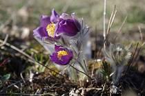 Koniklec otevřený - kriticky ohrožený druh s velkými fialovými květy, které je možné vzácně spatřit už jen na několika lokalitách v České republice.