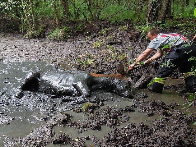 Krávu uvěznilo bahno rybníka. Pomohli jí hasiči.