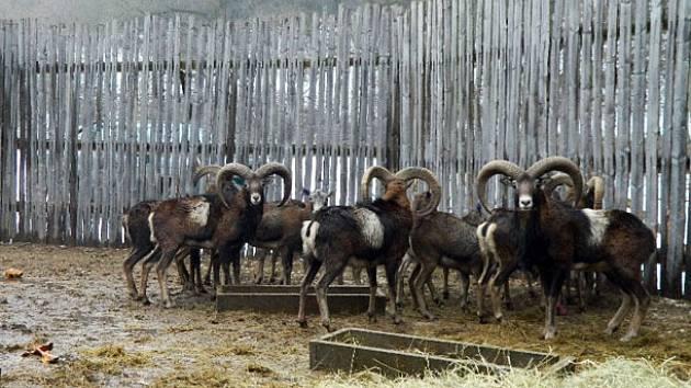Mufloni ve Vříské oboře poslední tři týdny čekali na transport do nového domova ve zvláštním výběhu.