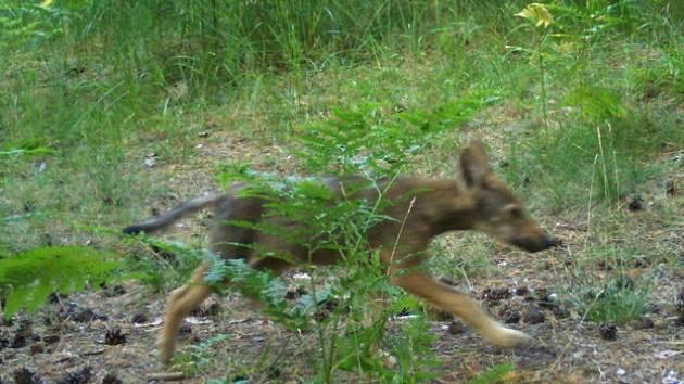 Fotopast ochranářů zachytila loni vlčí mládě také v Ralsku.