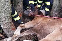 Vyčerpanou kobylu se podařilo zachránit.